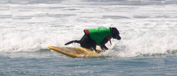 San Diego Dog Surfing News