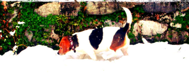 Beagle, Snow and Wintery Bliss Wordless Wednesday