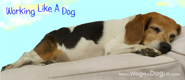Working Like A Dog -Beagle Style