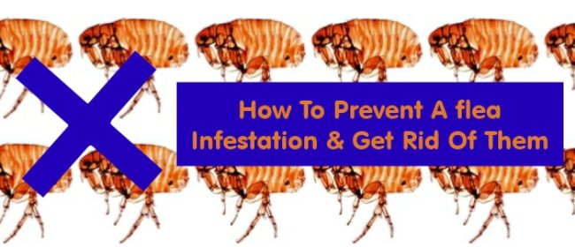 how to prevent a flea infestation and then get rid of them. Black Bedroom Furniture Sets. Home Design Ideas