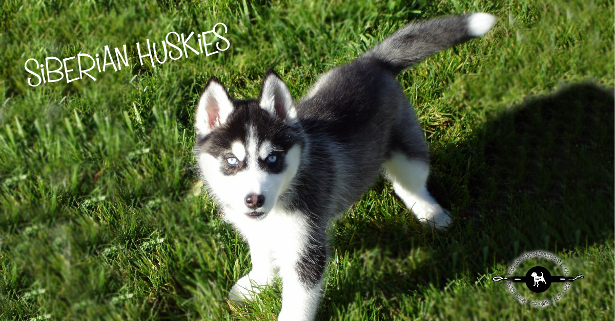 10 Awesome Facts About Siberian Huskies Wag The Dog Uk