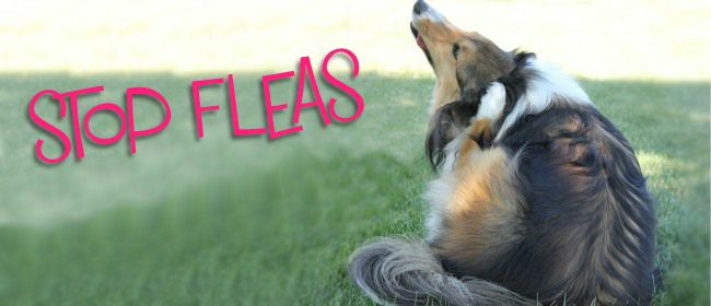 Stop Fleas from Targeting Your Dog
