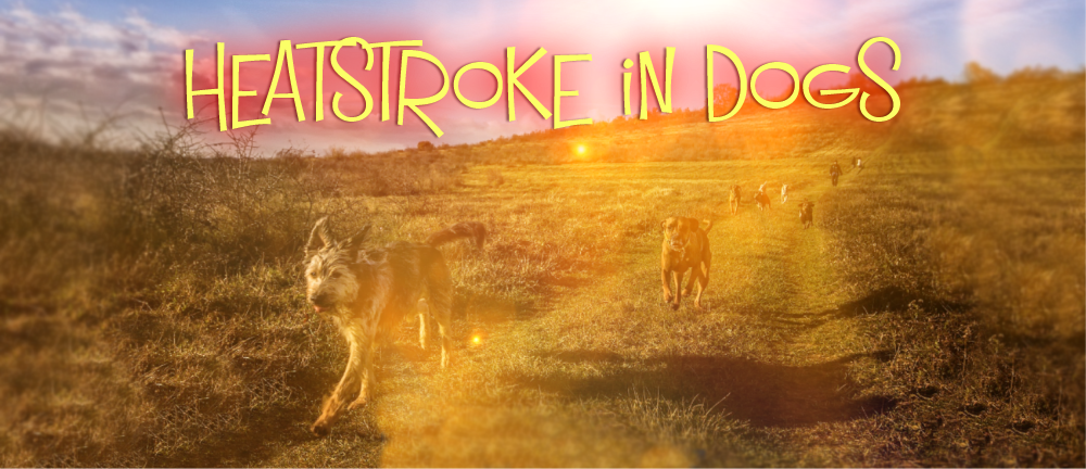 Heatstroke in Dogs -A Practical Guide By Colin's Pack